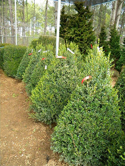 BUXUS NEWPORT BLUE CONE 42 and 48